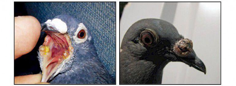 Названия вакцин от оспы голубей